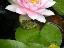 Ο κρίνος νερού και ο βάτραχος Στοκ φωτογραφίες με δικαίωμα ελεύθερης χρήσης
