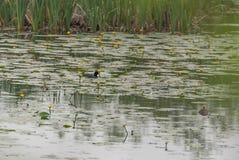 Ο κρίνος νερού φύλλων κολυμπά τους κρίνους νερού λιμνών στοκ φωτογραφίες με δικαίωμα ελεύθερης χρήσης