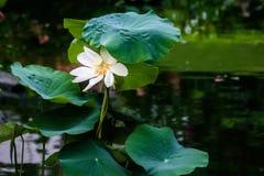 Ο κρίνος λουλουδιών Στοκ Φωτογραφίες