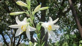 Ο κρίνος λουλουδιών Στοκ εικόνα με δικαίωμα ελεύθερης χρήσης