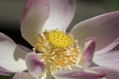 Ο κρίνος Lotus επιδεικνύει το λοβό σπόρου στοκ φωτογραφίες με δικαίωμα ελεύθερης χρήσης