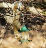 Ο κρεμώντας σκίουρος κλέβει από τον τροφοδότη πουλιών Στοκ φωτογραφίες με δικαίωμα ελεύθερης χρήσης