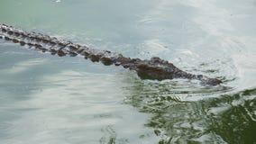 Ο κροκόδειλος κολυμπά και προσέχει το θήραμά του απόθεμα βίντεο