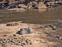 Ο κροκόδειλος του Νείλου, niloticus Crocodylus, βρίσκεται στις πτώσεις Awash, Αιθιοπία στοκ φωτογραφίες με δικαίωμα ελεύθερης χρήσης