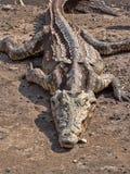Ο κροκόδειλος του Νείλου, niloticus Crocodylus, βρίσκεται στις πτώσεις Awash, Αιθιοπία στοκ εικόνες με δικαίωμα ελεύθερης χρήσης
