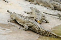 Ο κροκόδειλος είναι semiaquatic και τείνει να συναθροιστεί στο του γλυκού νερού χ στοκ φωτογραφίες