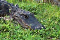 Ο κροκόδειλος πορτρέτου στα everglades κλείνει επάνω Στοκ Εικόνες