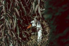 Ο κρυμμένος ντροπαλός Κύκνος πίσω από τα φύλλα στοκ φωτογραφία με δικαίωμα ελεύθερης χρήσης