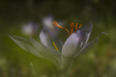 Ο κρόκος φθινοπώρου λουλουδιών Στοκ φωτογραφία με δικαίωμα ελεύθερης χρήσης