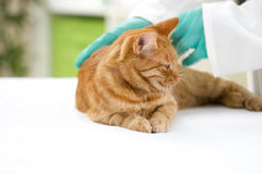 Ο κτηνίατρος ελέγχει την υγεία μιας γάτας σε μια κτηνιατρική κλινική Στοκ Εικόνα