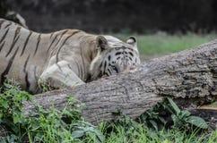 Ο κυβερνήτης φιλαράκων τιγρών της ζούγκλας στοκ φωτογραφία