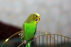 Ο κυματιστός παπαγάλος κάθεται στο κλουβί στοκ φωτογραφία