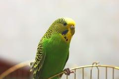 Ο κυματιστός παπαγάλος κάθεται στο κλουβί στοκ εικόνες με δικαίωμα ελεύθερης χρήσης