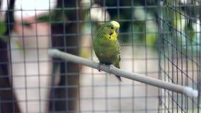 Ο κυματιστός παπαγάλος κάθεται σε μια πέρκα σε ένα κλουβί ζωολογικών κήπων, μετά από τους ανθρώπους πηγαίνετε απόθεμα βίντεο