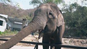 Ο κωμικός μεγάλος γκρίζος ελέφαντας τρώει τα τρόφιμα χρησιμοποιώντας τα μακριά proboscis απόθεμα βίντεο