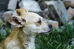 Ο κόκκινος-άσπρος ιεροκήρυκας σκυλιών προαυλίων κοιτάζει μακριά Στοκ Φωτογραφίες