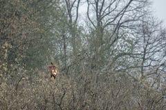 Ο κόκκινος ικτίνος κάθεται σε ένα δέντρο ψάχνοντας τα τρόφιμα στοκ εικόνες