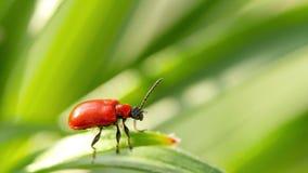 Ο κόκκινος κάνθαρος lilii Lilioceris, κάθεται σε ένα φύλλο φιλμ μικρού μήκους