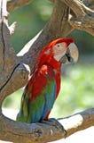 Ο κόκκινος παπαγάλος ara είναι φυλή των neotropical παπαγάλων Στοκ εικόνες με δικαίωμα ελεύθερης χρήσης