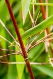 Ο κόκκινος πορτοκαλής ασιατικός μίσχος μπαμπού με πράσινο βγάζει φύλλα Στοκ εικόνα με δικαίωμα ελεύθερης χρήσης