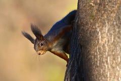 Ο κόκκινος σκίουρος λέει γειά σου Στοκ Φωτογραφίες
