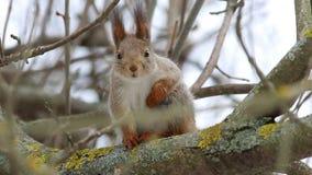 Ο κόκκινος σκίουρος ή ο ευρασιατικός κόκκινος σκίουρος το /Sciurus vulgaris/εξετάζει τα μάτια, κατόπιν συνεχίζει να φαγουρίζει Πρ φιλμ μικρού μήκους