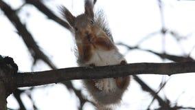 Ο κόκκινος σκίουρος ή ο ευρασιατικός κόκκινος σκίουρος Sciurus vulgaris κάθεται σε έναν κλάδο και τρώει ένα καρύδι απόθεμα βίντεο