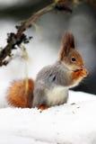 Ο κόκκινος σκίουρος ή το ευρασιατικό κόκκινο sguirrel Sciurus vulgaris κάθεται Στοκ Εικόνες