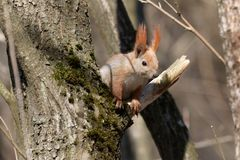 Ο κόκκινος σκίουρος είναι ένα δενδρικό, παμφάγο τρωκτικό στοκ εικόνες με δικαίωμα ελεύθερης χρήσης