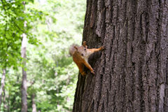 Ο κόκκινος σκίουρος κρατά τα νύχια ενός κορμού δέντρων Στοκ Εικόνες