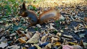 Ο κόκκινος σκίουρος παίρνει το καρύδι από το χέρι της γυναίκας - pov άποψη φιλμ μικρού μήκους