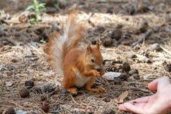 Ο κόκκινος σκίουρος ροκανίζει τα καρύδια στο πάρκο στοκ φωτογραφία