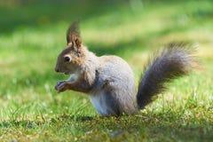 Ο κόκκινος σκίουρος στέκεται στα πόδια και τρώει ένα βελανίδι στο πάρκο στοκ φωτογραφία με δικαίωμα ελεύθερης χρήσης