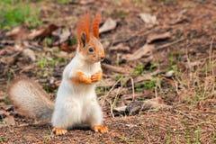 Ο κόκκινος σκίουρος στέκεται στο έδαφος και εξετάζει τη κάμερα στοκ φωτογραφία με δικαίωμα ελεύθερης χρήσης