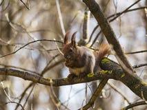 Ο κόκκινος σκίουρος τρώει ένα καρύδι στοκ φωτογραφία