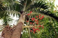 Ο κόκκινος φοίνικας είναι στο δέντρο του στοκ φωτογραφία με δικαίωμα ελεύθερης χρήσης