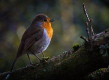 Ο κόκκινος Robin Στοκ Φωτογραφία