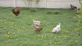 Ο κόκκορας και μια κότα επιλέγουν στο λιβάδι λουλουδιών απόθεμα βίντεο