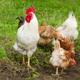 Ο κόκκορας και τα κοτόπουλα βόσκουν Στοκ φωτογραφία με δικαίωμα ελεύθερης χρήσης