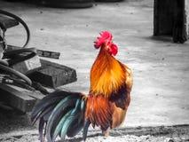 Ο κόκκορας λαλά την ταϊλανδική κλήση ο φίλος του στο αγρόκτημα φύσης Στοκ Εικόνα