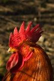 Ο κόκκορας στοκ φωτογραφία με δικαίωμα ελεύθερης χρήσης