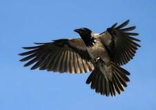 Ο κόρακας αιωρείται τα ανοικτά φτερά, που πετούν το πουλί Στοκ Φωτογραφία