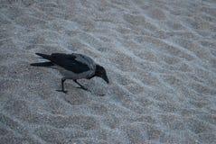 Ο κόρακας ψάχνει τα τρόφιμα στην αμμώδη παραλία Στοκ Φωτογραφίες