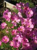 ο κόσμος ανθίζει το ροζ Στοκ φωτογραφία με δικαίωμα ελεύθερης χρήσης