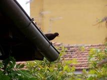 Ο κότσυφάς μου Στοκ Φωτογραφία