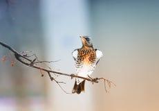 Ο κότσυφας πουλιών κάθεται υπερήφανα στο πάρκο Στοκ φωτογραφία με δικαίωμα ελεύθερης χρήσης