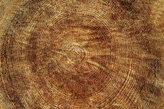Ο κύκλος των δέντρων - μια διατομή του ξύλου - ξύλινη σύσταση με το πριόνι έκοψε ένα νέο δέντρο στην περικοπή στοκ εικόνα