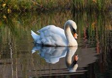 Ο Κύκνος κολυμπά κατά μήκος της λίμνης στις άγρια περιοχές Στοκ Εικόνες