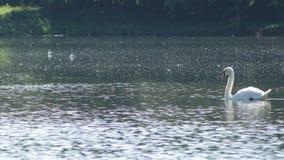 Ο κύκνος κολυμπά φιλμ μικρού μήκους