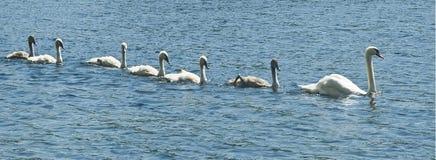 Ο Κύκνος κολυμπά με τους νεοσσούς Στοκ Εικόνες